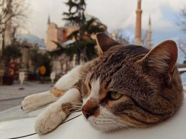 Istanbul Ayasofya Cat
